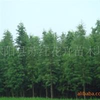 供应池杉苗30-50公分高