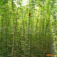 供应苗木,油麻藤