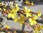 供应绿化苗木迎春花3-8分枝