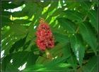 供应绿化苗木;火炬树3-12cm