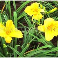 园林绿化苗木地被宿根类----金娃娃萱草