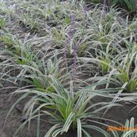 园林绿化苗木地被宿根类----金边麦冬