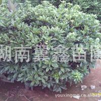 """大量供应:大小瑞香树,品种好,有""""夺花香""""、""""花贼""""之称呼"""