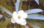 供应庭院观赏及四旁绿化极佳的常绿乔木   乳源木莲