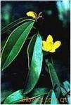 供应开黄花的常绿乔木 黄心夜合绿化深夜草莓视频app下载