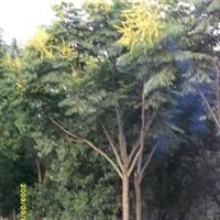 供应园林苗木 绿化苗木栾树