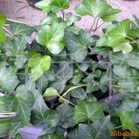 常绿木质藤本植物,常青藤