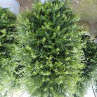 基地直销南方红豆杉,规格齐全,品质保证