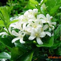 本苗场长期供应七里香红花继木杜鹃工程优质大小苗价格优惠