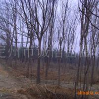 诚信苗圃供应大规格乔木灌木、馒头柳。垂柳,栾树等