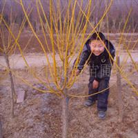 诚信苗圃大量出售矮接金枝黄槐;红叶碧桃;绿叶碧桃;西府海棠