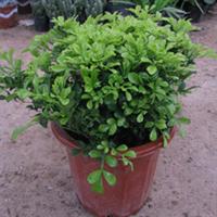 紫嫣苗木园艺场出售;米兰苗米兰盆栽米兰小苗米兰种子