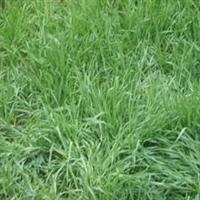 紫嫣苗木园艺场出售;黑麦草草坪黑麦草草皮黑麦草种子黑麦草草种