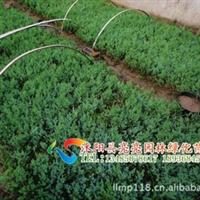 40万亩苗木基地直销地柏小苗、爬地柏、铺地柏、地柏等