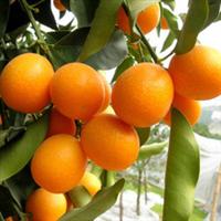 紫嫣苗木园艺场出售;果树金橘苗果树金橘盆栽金橘小苗果树金橘