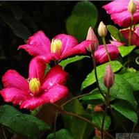 紫嫣苗木园艺场出售;铁线莲苗铁线莲盆栽铁线莲小苗铁线莲