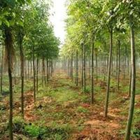 黄山栾树、供应大规格黄山栾树、栾树销售