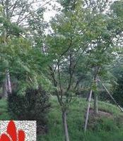 浙江鸡爪槭、鸡爪枫销售-浙江红叶园艺有限公司-苗木中心