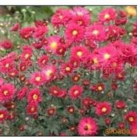 供应各种一二生草花 太阳花 一串红 千头菊