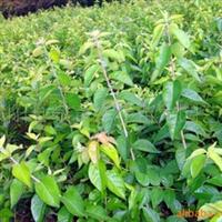 供应绿化灌木-金银木-花果并美之观赏灌木