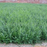 供应常绿灌木水腊.绿篱苗木