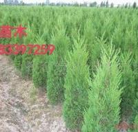 直销绿化灌木-塔柏树苗