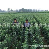大量出售平邑甜茶种子黄樱桃种子 山楂种子等果树种子