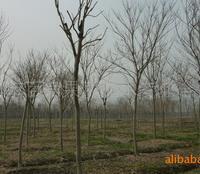 批发供应优质绿化苗木 无患子 工程苗无患子