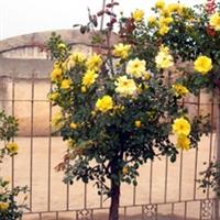 批发供应月季树 树状月季 质优价廉 量大从优