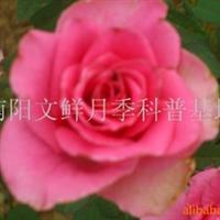 大花月季批发/南阳文鲜月季基地/花大品种优/壮花月季帕瓦罗蒂