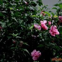 大量供应绿化小苗,木槿,紫薇,紫金,冬青,黄杨