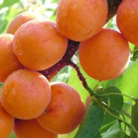 供应各种大小品种杏树苗(图)欢迎来电咨询洽谈合作