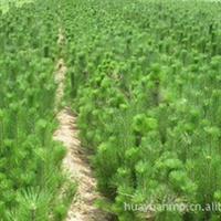供应大小规格齐全华山松(图)各种绿化苗木 欢迎来电咨询