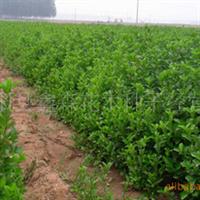 现苗圃大量供应优质绿化苗-金银木(图)