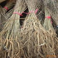 供应优质紫穗槐-棉槐、椒条、棉条、穗花槐苗等(图)
