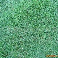 供应优质草坪-马尼拉草坪-半细叶结缕草-日本结缕草