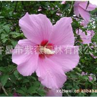 批发供应 独杆木槿(1-5公分)丛生木槿15万株 木槿小苗