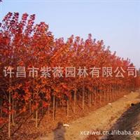 供应品种纯正、色泽鲜艳美国红枫