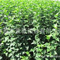 常年供应木槿苗 木槿树等绿化工程苗木等