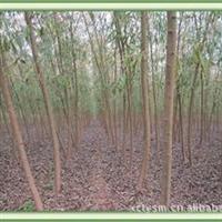 栾树主产区鄢陵  黄山栾树质量可靠  成活率高[信息已过期]