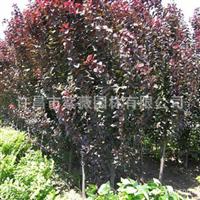 批发供应 紫叶李 4-12cm 绿化工程苗木 小乔木