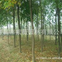 批发供应  白腊  米径4-10cm  绿化工程苗木 乔木