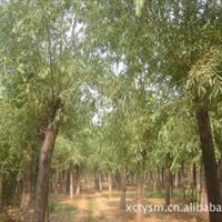 金丝垂柳 品种纯 树形好  成活率高 购买金丝柳可拨厂家直销热线