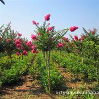 供应优质紫薇 树形好 成活率高
