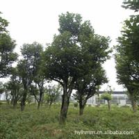 大批量低价急售柿树