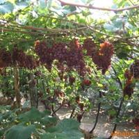大量供应各种水果葡萄 克瑞森 兴乐 红提 青提 红珍珠