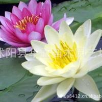 【批发特惠】供应优质水生花卉——睡莲 水生植物睡莲苗