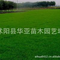 批发草种子:供应进口草坪种子 早熟禾种子 (午夜2号)