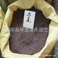 批发供应优质当年新采地被类花卉种子 马兰种子 马莲种子