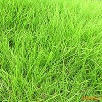 供应-花木-苗木中华结缕草种子-日本结缕草草籽